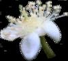 eMyrtaceae